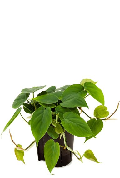 Philodendron scandens hydrocultuur 1