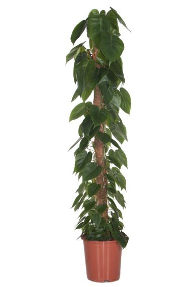 Philodendron scandens kamerplant