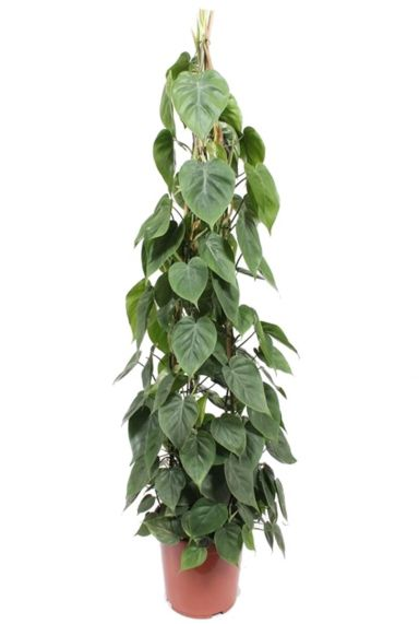 Philodendron scandens kamerplant 3
