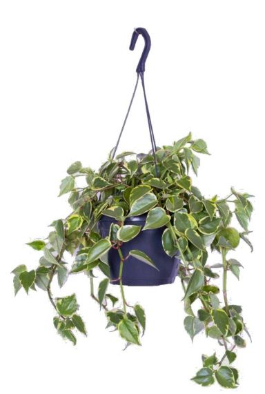 Philodendron scandens variegatum