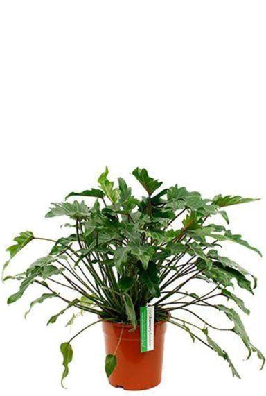Philodendron xanadu 1