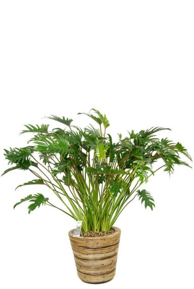 Philodendron xanadu in mand 1