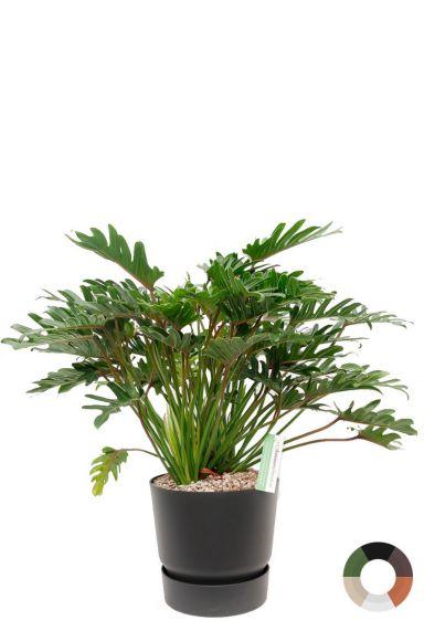 Philodendron xanadu zwarte pot 1