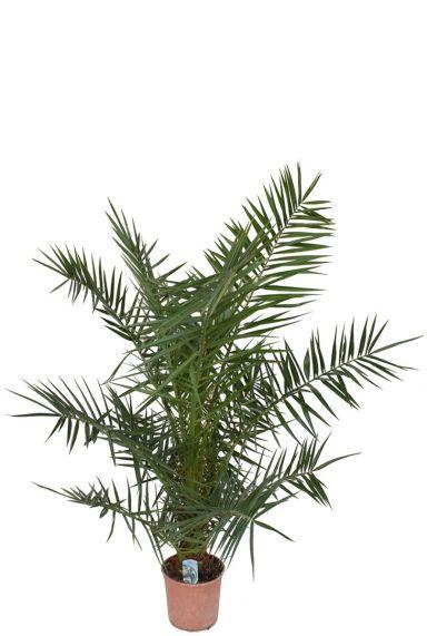 Phoenix canariensis palm 1