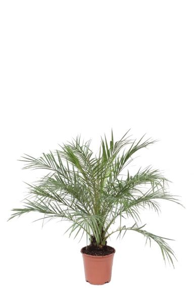 Phoenix roebelinii palm