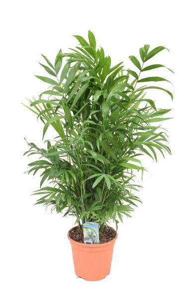 Plant chamaedorea elegans