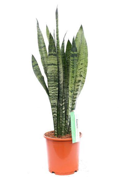 Sansevieria Zeylanica kamerplant kopen bij 123planten