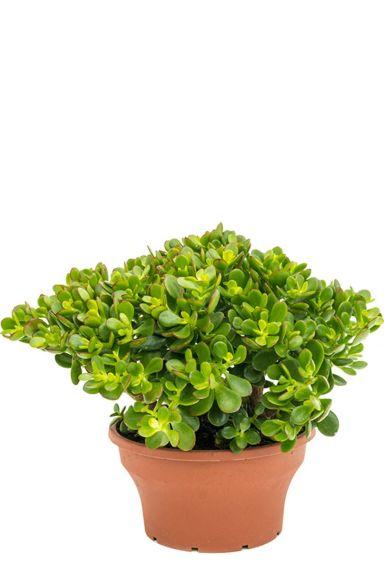 Prachtige crassula ovata minor