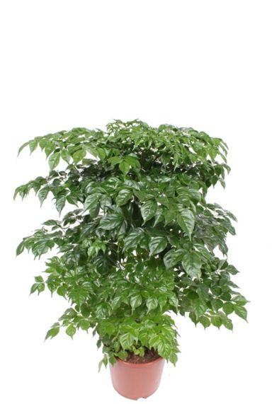 Radermachera sinica kamerplant