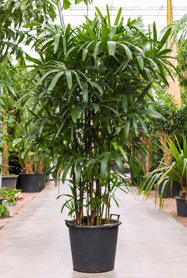 Rhapis excelsa mooie volle palm
