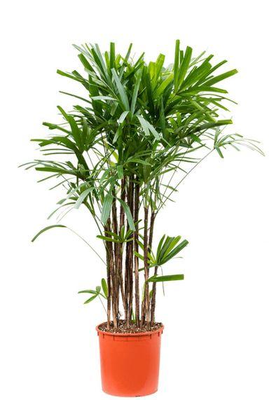 Rhapis excelsa plant 1