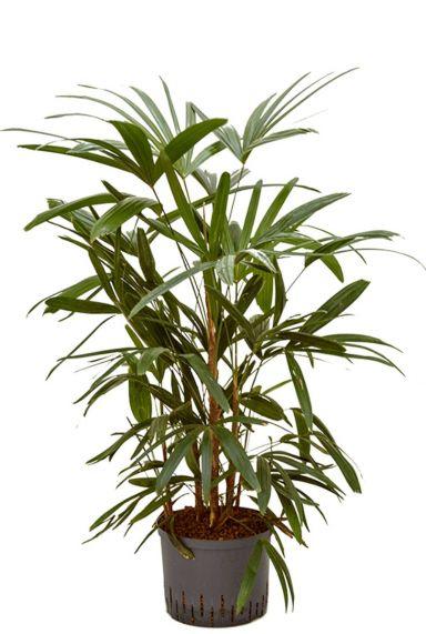 Rhapis palm hydrocultuur
