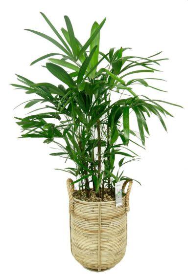 Rhapis palm in mand