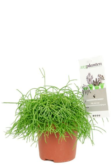 Rhipsalis cashero groene kamerplant
