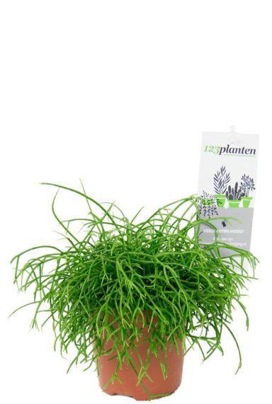 Rhipsalis cassutha kamerplant 1 1
