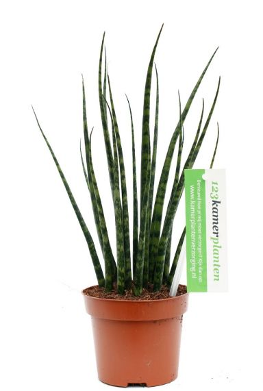 Sansevieria Fernwood kamerplant kopen bij 123planten