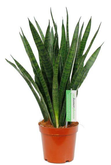 Prachtige groene Sansevieria Kirkii kopen