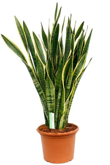 Sansevieria is een sterke kamerplant