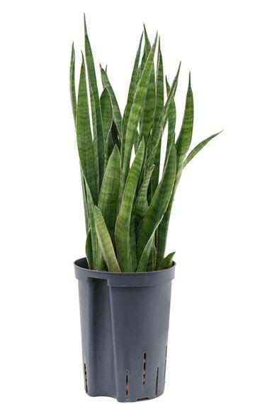 Sansevieria kirkii kamerplant hydro