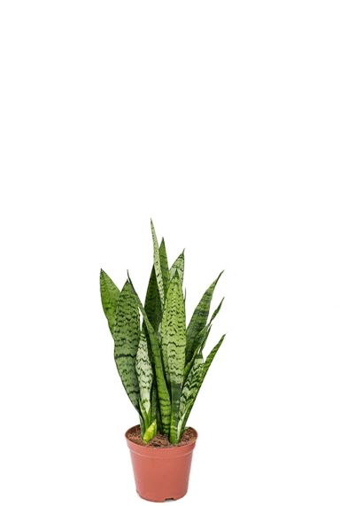 Sansevieria zeylanica 2