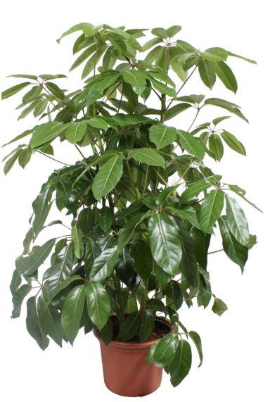 Schefflera actinophylla amate 1
