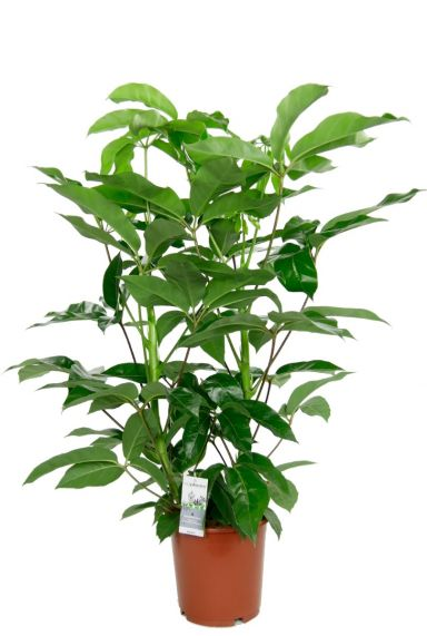 Schefflera amate kamerplant 2