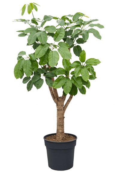Schefflera amate vingersboom 1