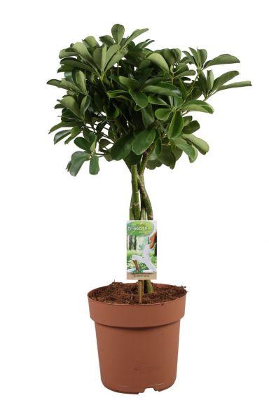 Schefflera arboricola boompje