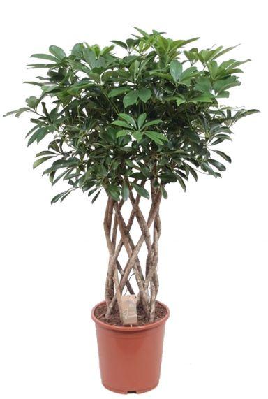 Schefflera arboricola plant 1 1