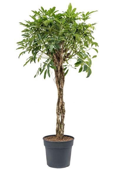 Schefflera arboricola planten