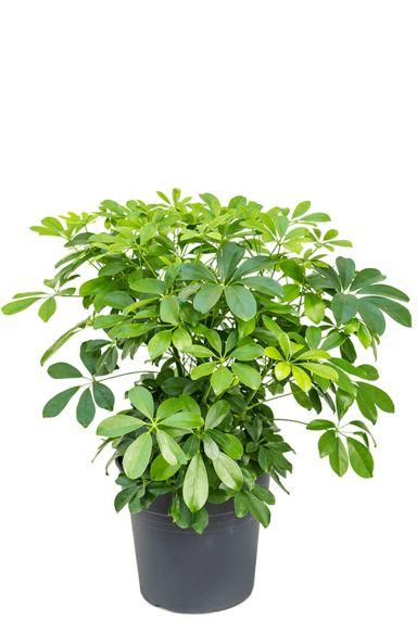 Schefflera arboricola vingersboom 1
