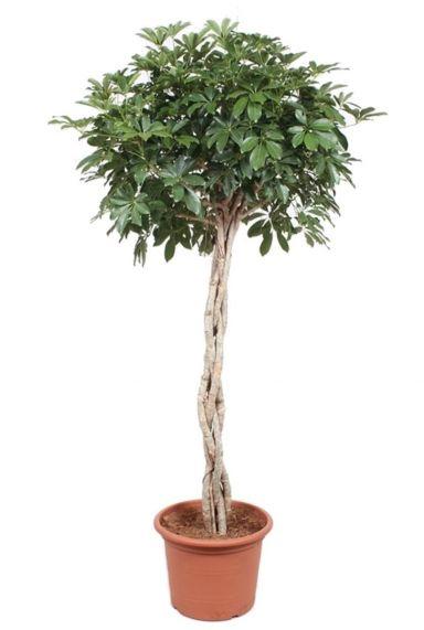 Schefflera compacta kamerplant 1 3