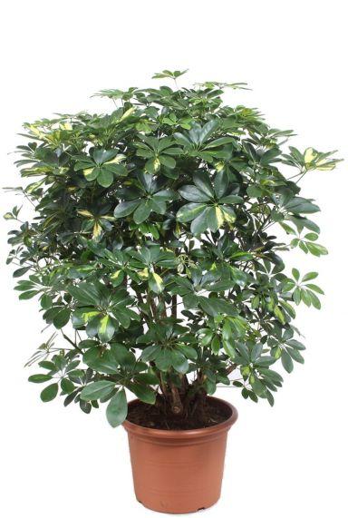 Schefflera gold capella plant 2