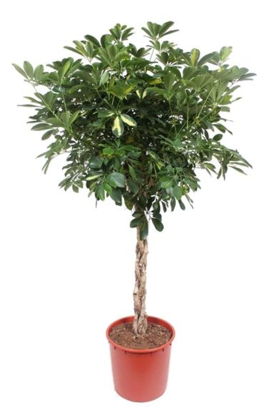 Schefflera gold capella plant 5