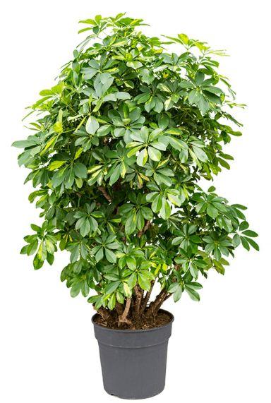 Schefflera kamerplant