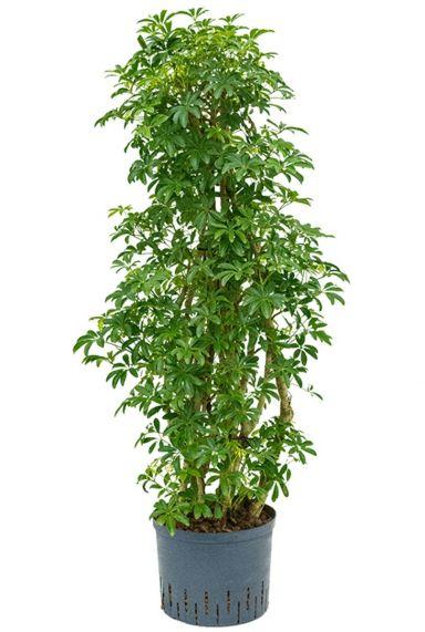 Schefflera louisiana kamerplant hydro