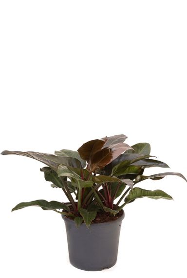Schitterende philodendron imperial red
