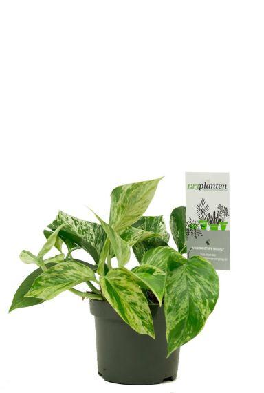 Scindapsus marble queen plant