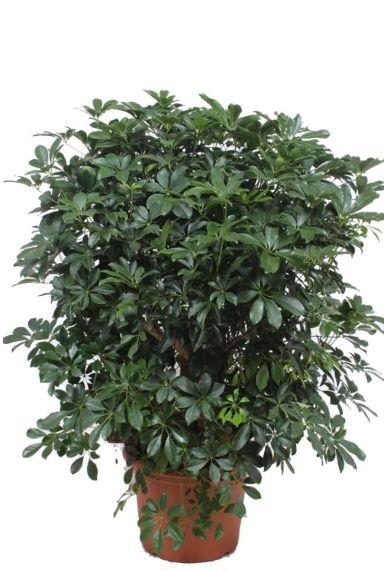 Schefflera Compacta vingersboom kamerplanten