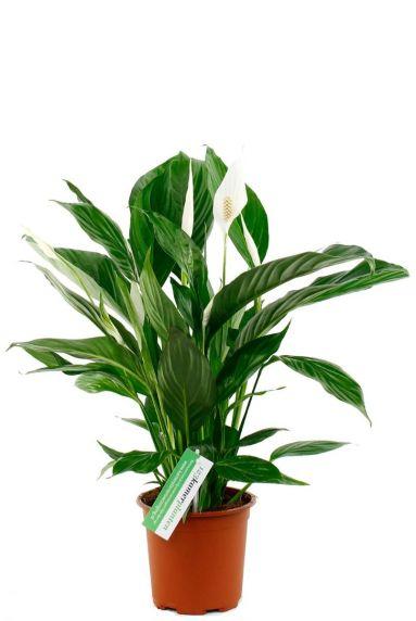 Mooie spathiphyllium