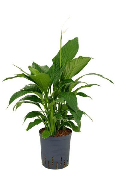 Spathiphyllum gokyo hydro plant