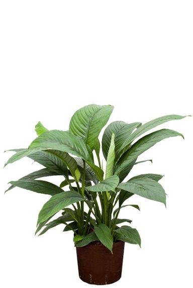 Spathiphyllum hydrocultuur