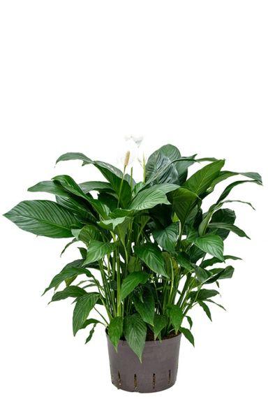 Spathiphyllum hydrocultuur plant 1