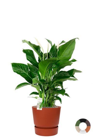Spathiphyllum in elho pot