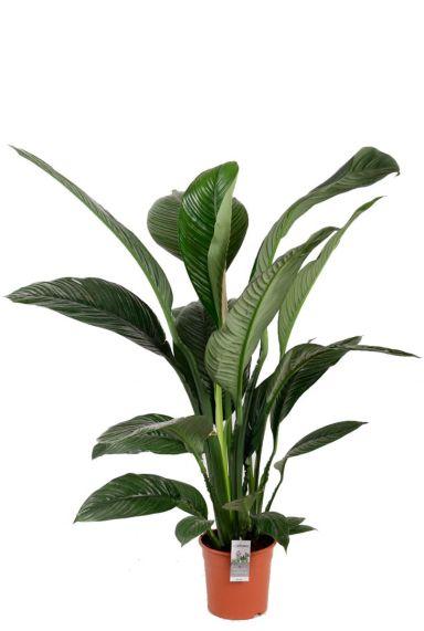 Spathiphyllum kamerplant