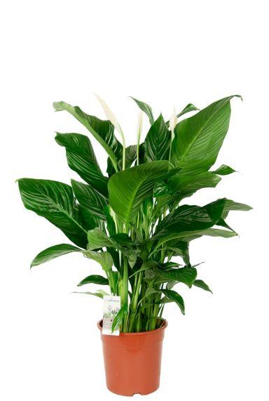Spathiphyllum lepelplant kamerplant 1
