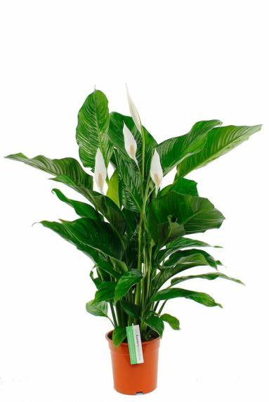 Spathiphyllum Bingo