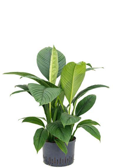 Spathiphyllum sensation hydro