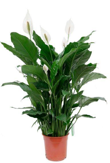 Spathiphyllum sweet sebastiano lepelplant