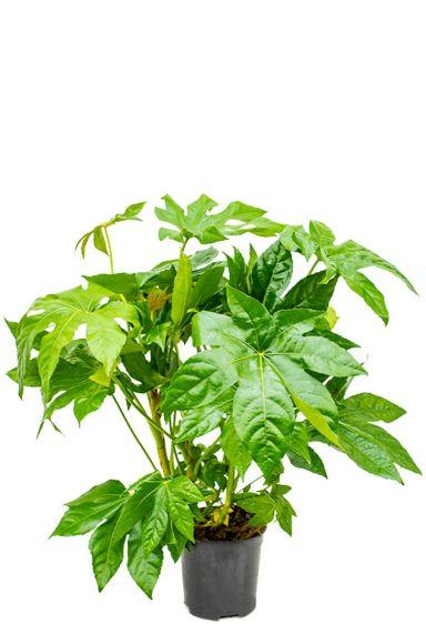 Speciale fatsia japonica kamerplant